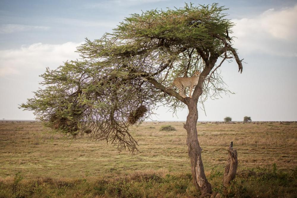 Cheetah_Tree-Edit.thumb.jpg.674493dd8923aa6e40f95d7efa53bdea.jpg