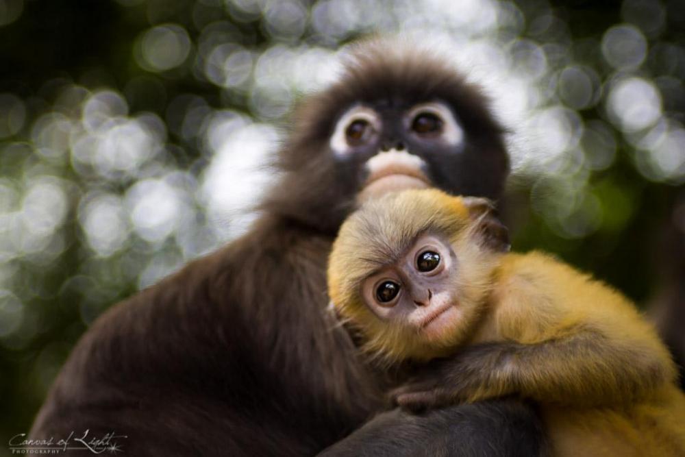 Spectacled_langue_monkeys_thailand-small.thumb.jpg.080e6ce786df705ad9d45fbc2d86dcc9.jpg